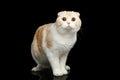 Scottish fold breed Cat on isolated black background Royalty Free Stock Photo