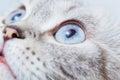 Scottish fold breed closeup muzzle cat Royalty Free Stock Photos
