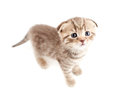 Scottish fold brown kitten top view Royalty Free Stock Photo
