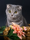 Scottish fold cat in a basket with flowers. Stock Photo