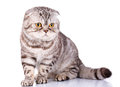 Scottish fold cat bicolor stripes on white background Royalty Free Stock Photo