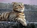 Scottish fold cat lies on steps Stock Image