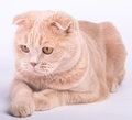 Scottish fold cat lying paws crossed isolated on white background Royalty Free Stock Photos
