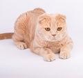 Scottish fold cat lying paws straight isolated on white background Stock Photo