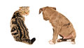 Scottish Fold cat and puppy pit bull sitting looking at each other Royalty Free Stock Photo
