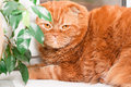 Scottish fold cat sitting windowsill houseplants Stock Photography
