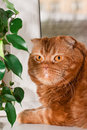 A scottish fold cat sitting on a windowsill between houseplants Royalty Free Stock Photography