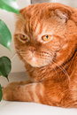 Scottish fold cat a sitting on a windowsill between houseplants Royalty Free Stock Photography