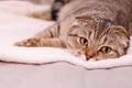 Scottish Fold cat tabby. Royalty Free Stock Photo