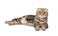 Scottish fold cat on white background Royalty Free Stock Photos