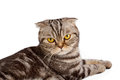 Scottish fold cat on white isolated background Royalty Free Stock Images