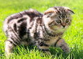 Scottish fold ears kitten walking Stock Image
