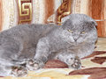 Scottish fold grey cat Stock Photography