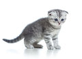 Scottish fold grey kitten  on white Royalty Free Stock Photography