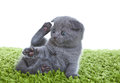 Scottish Fold Kitten Stock Images