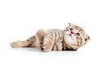 Scottish fold kitten lying on floor Royalty Free Stock Image