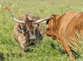 Scottish Highland Brindle Cow with Bull Stock Photos