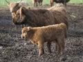 Scottish Highland Calf Royalty Free Stock Photo