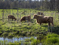 Scottish Highland Cattle in a Marsh Royalty Free Stock Photo