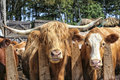 Scottish highland cattle and some mix breed eating hay in the barnyard Royalty Free Stock Photos