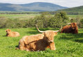 Scottish highland cattle two highlands cows with a young calf in a herd horned with long golden red brown hair or fur resting in Royalty Free Stock Images