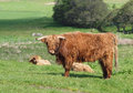 Scottish highland cows and calf cow with a young in a herd horned cattle with long golden red brown hair or fur resting in long Stock Images