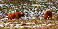 Scottish highlander cattle in winter a grazing a snowy field Stock Photos