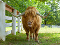 Scottish highlander ox Royalty Free Stock Images