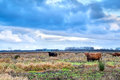 Scottish highlands cattle on pasture in netherlands Stock Photography