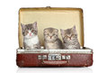 Scottish kitten in old suitcase Royalty Free Stock Photography