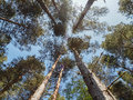 Scottish pine trees in forest looking up through the canopy of the of the highlands rothiemurcus estate Stock Image