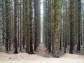 Scottish Pines in Glen Devon Royalty Free Stock Photo