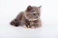 Scottish purebred cat grey on white background Stock Photos