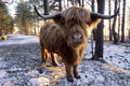 Scottish red highland ox its typically long horns estonian farm Stock Photo