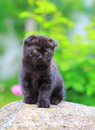 Scottish small kitten sitting on stone summer background Stock Photos