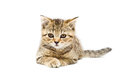 Scottish straight breed kitten lying on white background Royalty Free Stock Photo