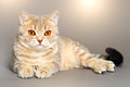 Scottish straight cat on gray background Royalty Free Stock Images