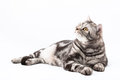 Scottish straight cat lying on the white background Stock Photos