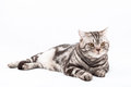 Scottish straight cat lying on the white background Royalty Free Stock Photography