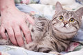 Scottish-straight gray beautiful cat Royalty Free Stock Photos