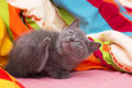 Scottish straight gray beautiful cat little Royalty Free Stock Images