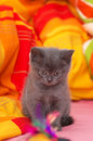 Scottish straight gray beautiful cat little Stock Photos