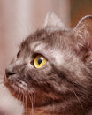 Scottish straight gray cat beautiful Stock Photos