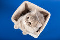 Scottish straight kitten in a basket Royalty Free Stock Image