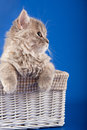 Scottish straight kitten in a basket Stock Photo
