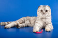 Scottish straight kitten on blue Stock Image