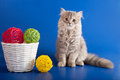 Scottish straight kitten on blue Royalty Free Stock Images