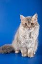 Scottish straight kitten on blue background Stock Photos