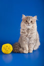 Scottish straight kitten on blue background Royalty Free Stock Photos