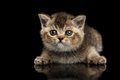 Scottish Straight Kitten Lying and Curious Looking Forward Isolated Black Royalty Free Stock Photo